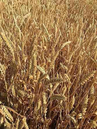 Продаю семена озимой пшеницы сорт зерноградка 11 эс Зерноград
