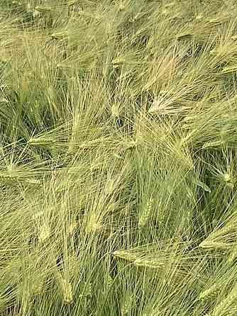 Семена озимого ячменя сорт Фокс-1 ЭС Зерноград