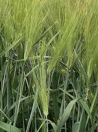 Семена озимого ячменя сорт Виват ЭС Зерноград