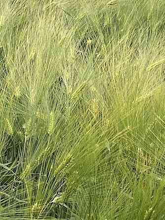 Семена озимого ячменя сорт Маруся ЭС Зерноград