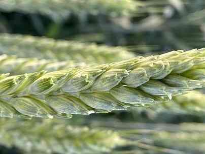 Семена озимой пшеницы сорт Полина ЭС Зерноград