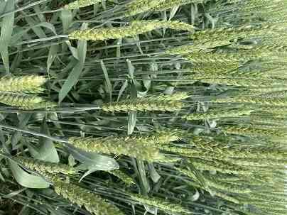 Семена озимой пшеницы сорт Лауреат ЭС Зерноград
