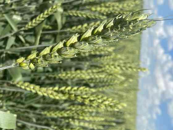 Семена озимой пшеницы сорт Еланчик ЭС Зерноград