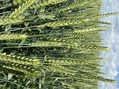 Продаю семена озимой пшеницы сорт Изюминка ЭС Зерноград