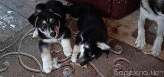 Отдам даром: щенки хаски-полукровки в Москве Москва