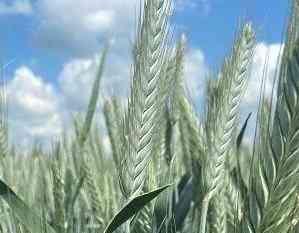 Семена тритикале озимой Тихон, Хлебороб Зерноград