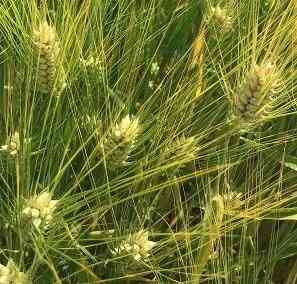 Семена ячменя озимого Виват, Ерема, Маруся, Тимофей, Фокс1 Зерноград