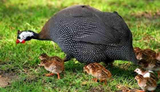Домашняя птица. Гусята, Индюшата, Утята, Мулард Цесарята Краснодар